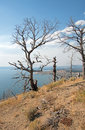 Dead Burned Trees At Lake Butte View Above Yellowstone Lake In Yellowstone National Park In Wyoming Stock Image - 96370661
