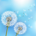 Blue Background With Two Flowers Dandelions Stock Image - 96395831