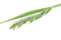 Unripe Oat Spike Isolated On White Background Royalty Free Stock Image - 96402346