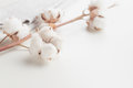 Cotton Plant Flower Branch On White Background Stock Photos - 96467043