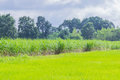 The Soft Focus The Nature Field, Green Paddy Rice Field,sugarcane Plant Field,the Beautiful Sky And Cloud In Thailand. Royalty Free Stock Photos - 96494048