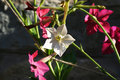 Flower Of Tobacco Stock Photography - 96502022