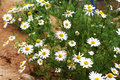 Flowering. Chamomile. Blooming Chamomile Field, Chamomile Flowers On A Meadow In Summer, Selective Focus Royalty Free Stock Images - 96527119