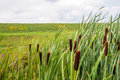 Ripe Female Flower Spikes Of Bulrush Plants From Close Royalty Free Stock Images - 96550639