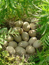 Nest Of Wild Duck Royalty Free Stock Image - 9664836