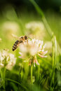 Bee Collecting Flower Pollen Stock Image - 96682611