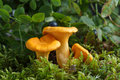 Collecting Chanterelle Mushroom In The Forest. Chanterelle In Moss With Green Background. Stock Image - 96688551