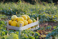 Ripe Yellow Melon In Wood Box On The Field At Organic Eco Farm Royalty Free Stock Images - 96691709