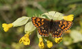 A Rare Female Duke Of Burgundy Butterfly Hamearis Lucina Perched On A Cowslip Flower Primula Veris. Royalty Free Stock Images - 96696549