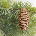 Douglas Fir Evergreen Cone On Branch Of Tree Stock Photography - 96731502