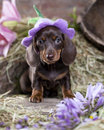 Dachshund Puppy In Hat Royalty Free Stock Photo - 96744825