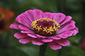 Zinnia Royalty Free Stock Photos - 96781998