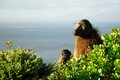 Couple Of Baboons At Cape Peninsula, South Africa Stock Photography - 96796752