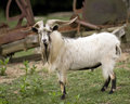 Domestic Goat Stock Image - 9688511