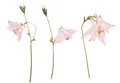 Dried And Pressed Flowers Of A Pink Aquilegia Vulgaris Flower Isolated On A White Background Royalty Free Stock Photography - 96812747