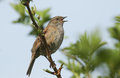 A Singing Hedge Sparrow Or Dunnock Prunella Modularis Perched In A Tree. Royalty Free Stock Image - 96822266