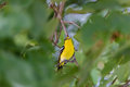 Asian Golden Oriole On Branch Of Big Tree In The Ayutthaya Historical Park. Royalty Free Stock Image - 96822656