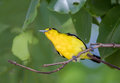 Asian Golden Oriole On Branch Of Big Tree In The Ayutthaya Historical Park. Stock Photo - 96826370