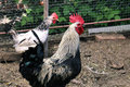 Dark Gray Black And White Rooster And Chickens On The Farm. Royalty Free Stock Images - 96844469