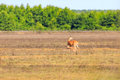 A White-tailed Doe And Her Fawn Walk Across A Field In Bald Knob Wildlife Refuge In Bald Knob Stock Images - 96846714