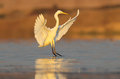 Great White Heron Photograped In Amazing Soft Morning Light. Royalty Free Stock Photo - 96884005