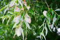 White Willow Salix Alba Tree Branch With Fruits And Leaves. Seeds In White Down. Stock Image - 96890171