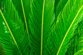 Long Spiky Palm Tree Leaves In Beautiful Geometrical Pattern, Botanical, Foliage, Tropical Background Royalty Free Stock Images - 96923699