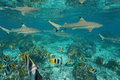 Sharks With Shoal Of Fish Underwater Pacific Ocean Stock Photography - 96946752