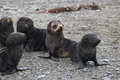 Fur Seal Pups Royalty Free Stock Photography - 96976317
