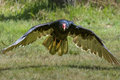Turkey Vulture Stock Image - 96990821