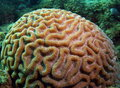 Brain Coral Royalty Free Stock Photo - 9700325