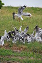 Pack Of Seagull Fighting For Chips Royalty Free Stock Image - 9703686