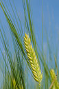 Barley Stock Images - 9704834