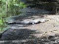 Alligator On A Dry Riverbed. Stock Photography - 97088412