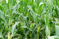 Close Up Green Corn On The Farm Royalty Free Stock Photography - 97108057