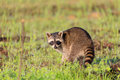 A Raccoon Foraging For Breakfast In The Early Hours Of The Morning At Bald Knob Wildlife Refuge Stock Photo - 97117380