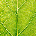 Grape Leaves Texture Leaf Background Macro Green Light Closeup Stock Image - 97166251