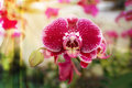 Phalaenopsis Orchid Flowers. Royalty Free Stock Images - 97180869