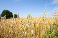Field Of Oat Royalty Free Stock Photography - 97191747