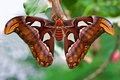 Small Emperor Moth (butterfly) Stock Photo - 9723230