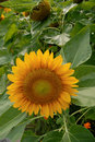 Sunflower Royalty Free Stock Photography - 9727517