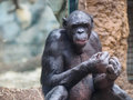 Ape In Zoo Stock Photos - 97211473