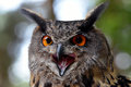 Eagle Owl Royalty Free Stock Image - 97220536