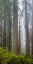 Redwoods And Rhododendrons Along The Damnation Creek Trail In De Royalty Free Stock Photos - 97255868
