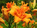 Orange Lily Flowers Royalty Free Stock Images - 97309729