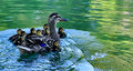 Mama Duck And Babies Stock Images - 97355394