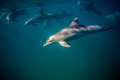 Bottle-nosed Dolphin Underwater Side View. Royalty Free Stock Photography - 97374527