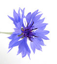 Cornflower Royalty Free Stock Images - 9745069