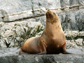 Sea Lion Royalty Free Stock Images - 9749919