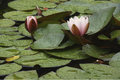 Water Lilies In A Pond Royalty Free Stock Photography - 97413167